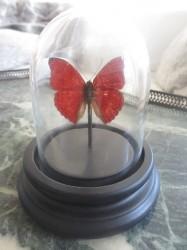 Ægte sommerfugl i glaskuppel. Rød