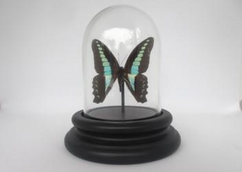 Ægte sommerfugl i glaskuppel. Sarpedon