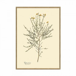 The Dybdahl Co. Cytisus Tener Plant Poster